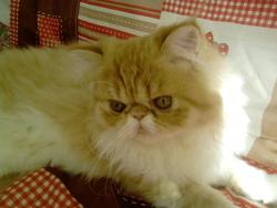 Gédéon, chat Persan