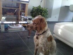 Geena, chien Épagneul breton