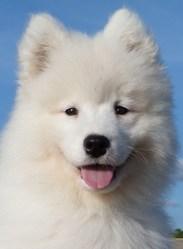 Geenha, chien Samoyède