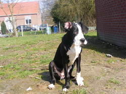 Geeny, chien Dogue allemand