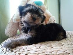 Geezmow, chien Yorkshire Terrier