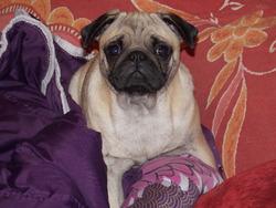 Geisha, chien Carlin