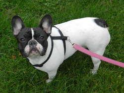 Geisha, chien Bouledogue français