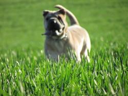Geisha , chien Shar Pei