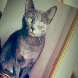Geisha, chat Bleu russe