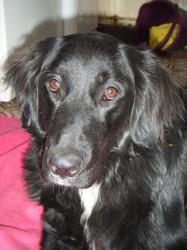 Geisha, chien Labrador Retriever
