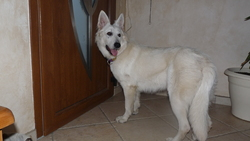 Geisha, chien Berger blanc suisse