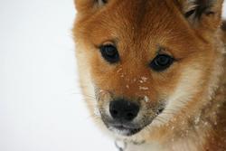 Geisha Akiko, chien Shiba Inu