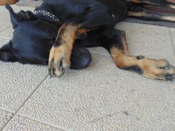 Gekho, chien Beauceron