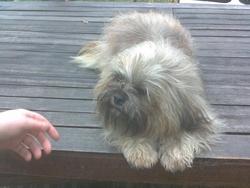Geko, chien Lhassa Apso
