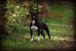 Géko, chien American Staffordshire Terrier