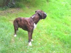 Geko De Montipouret, chien Boxer