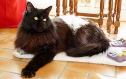 Gela, chat Maine Coon
