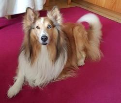 Gelfy, chien Berger des Shetland