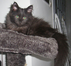 Geli, chat Maine Coon