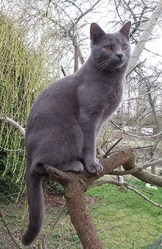 Gelinda De Robinson Val 36, chat Chartreux