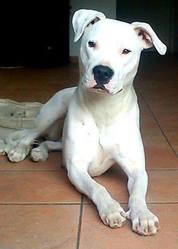 Gelona, chien Dogue argentin