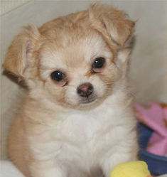 Gémina, chien Chihuahua