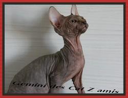 Gémini Des Cat'S Zamis, chat Sphynx