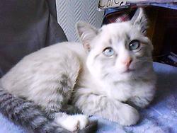 Gemmina, chat Gouttière