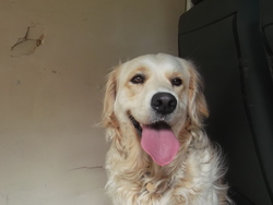 Gena, chien Golden Retriever