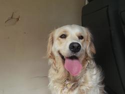 Gena, chien Golden Retriever