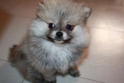Gena, chien Spitz allemand