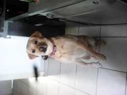 Gena, chien Labrador Retriever