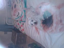 Ena, chien Bichon maltais