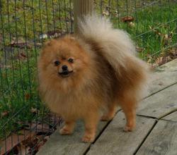 Génépi , chien Spitz allemand