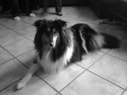 Genesis, chien Colley à poil long
