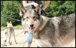 Génésys De La Louve Blanche, chien Chien-loup tchèque