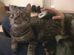 Genghis, chat Gouttière