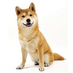 Gengko, chien Shiba Inu