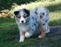 Geni, chien Berger australien