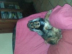 Génial D Artenset , chien Cocker anglais