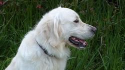 Génie, chien Golden Retriever