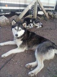 Genna, chien Husky sibérien
