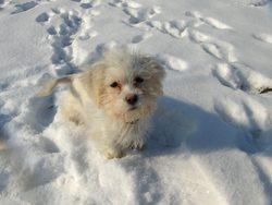 Gennie, chien Coton de Tuléar