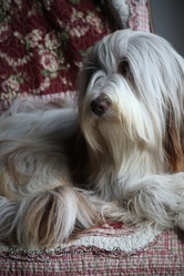 Gentiane Des E D L, chien Bearded Collie