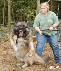 Gentil, chien Caniche