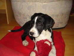 Genzo, chien Pointer anglais