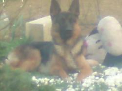 Genzo De La Meute Du N'Heyl, chien Berger allemand