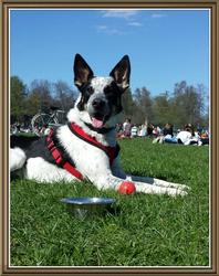 Genzo, chien Border Collie