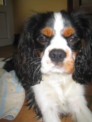 Geo, chien Cavalier King Charles Spaniel