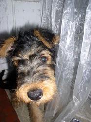 Geo, chien Airedale Terrier