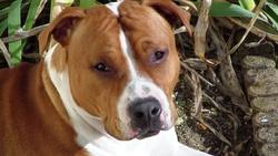 Geoby, chien American Staffordshire Terrier
