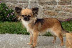 Geoly Poupée De La Niche Impériale, chien Chihuahua