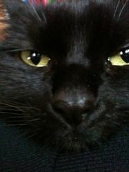 George, chat Européen