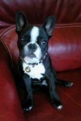 Georges, chien Bouledogue français